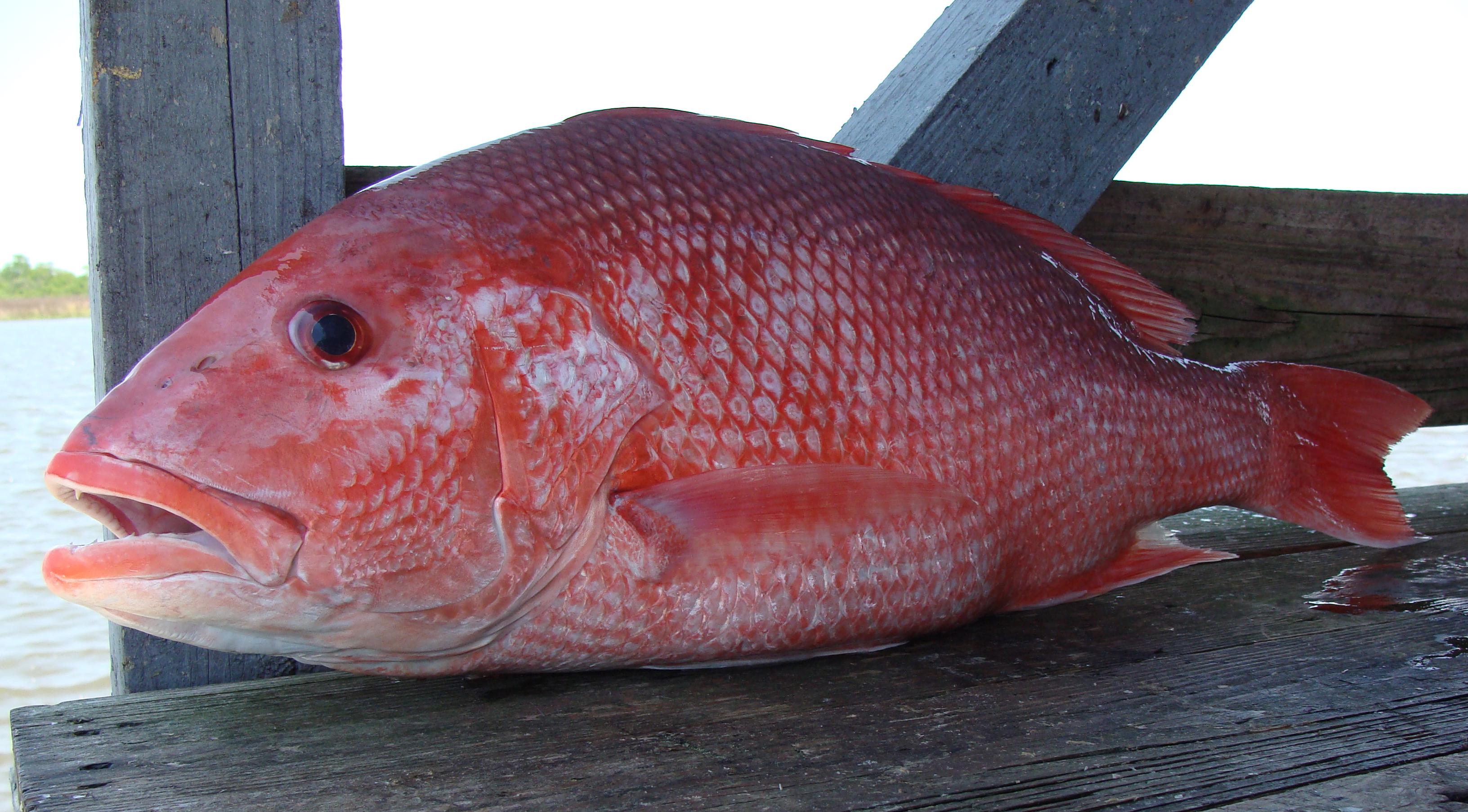 Red Snapper Destin FL