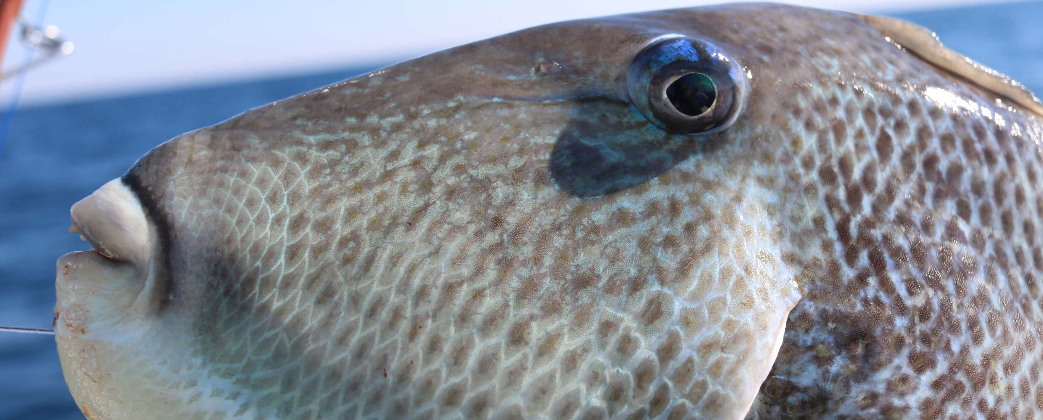 Trigger Fish Destin FL